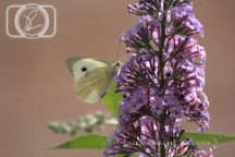 Butterfly_28-07-14_IMG_7986