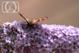 Butterfly_28-07-14_IMG_7997