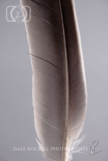 Grey Feather in Portrait with Light Grey Background
