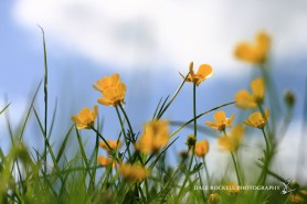 Buttercups_16-05-15_IMG_4336