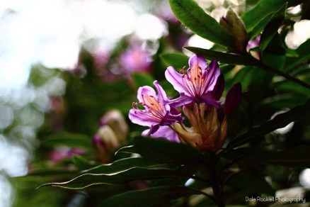 Rhododendron_IMG_0849_29-05-16