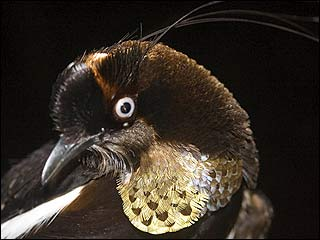 Berlepsch's Six-Wired Bird of Paradise