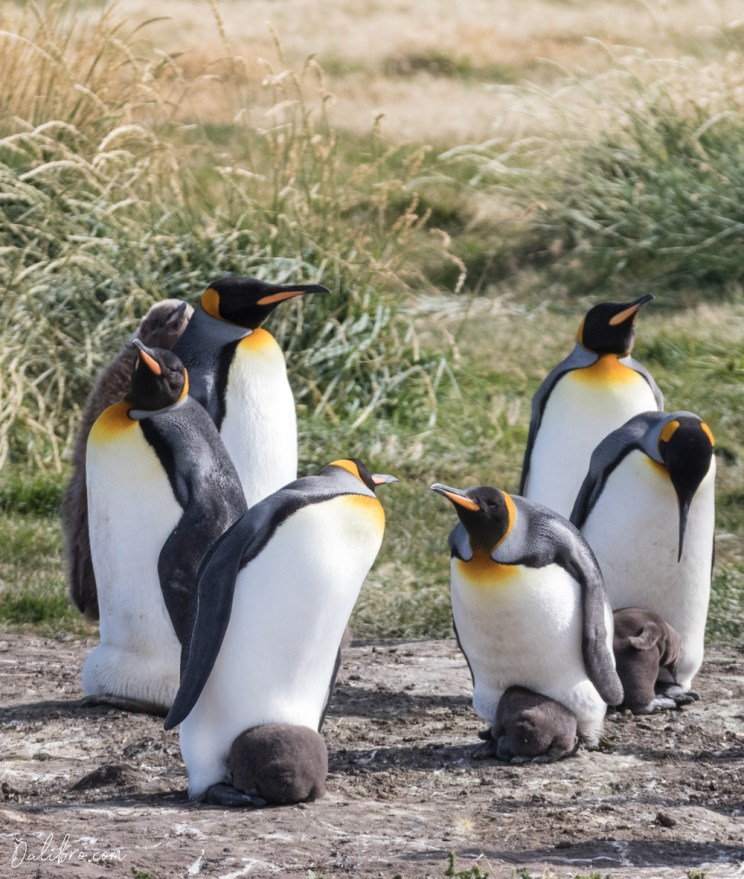 King penguins having a chat about raising children, Parque Pinguino Rey, Tierra del Fuego, Patagonia, Chile