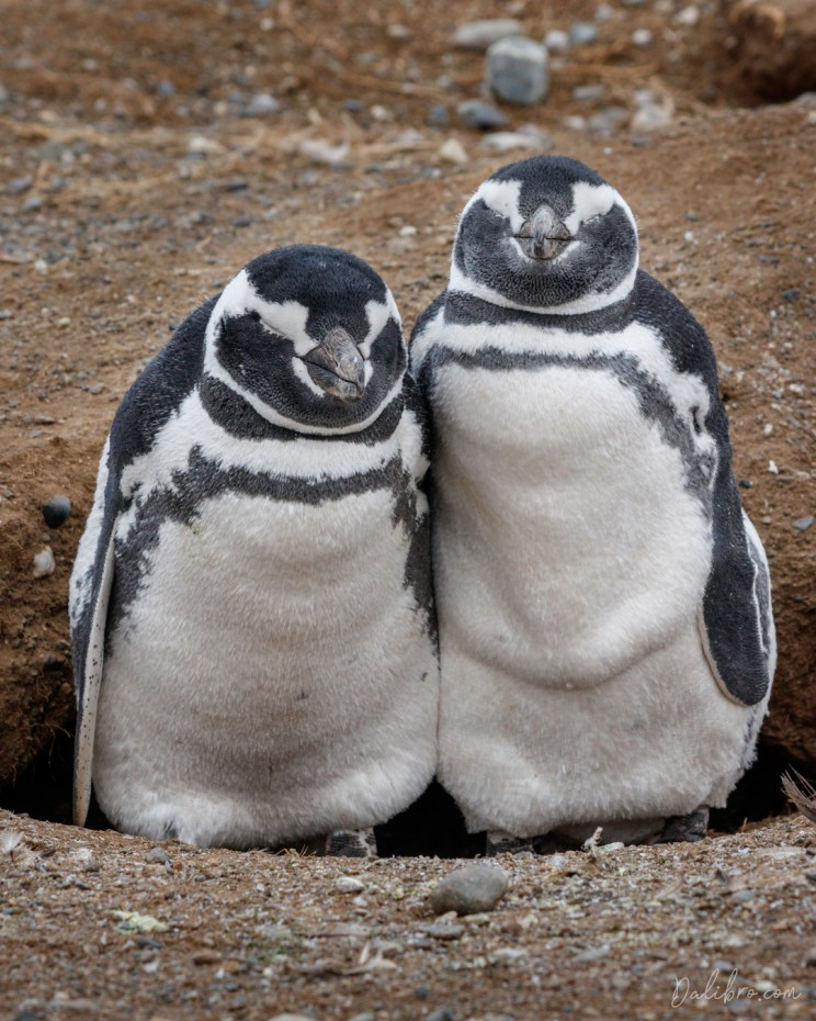 Penguin brothers are chilling on Isla Magdalena, Strait of Magellan, chile