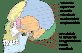 Human_skull_side_bones_svg