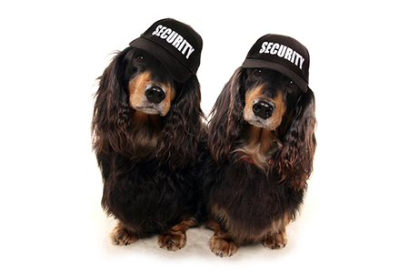 two Dashunds with security baseball caps