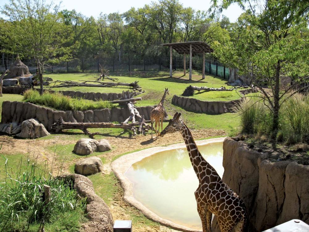 Giraffes-habitat-Giants-Dallas-Zoo-Savanna-Texas.jpg