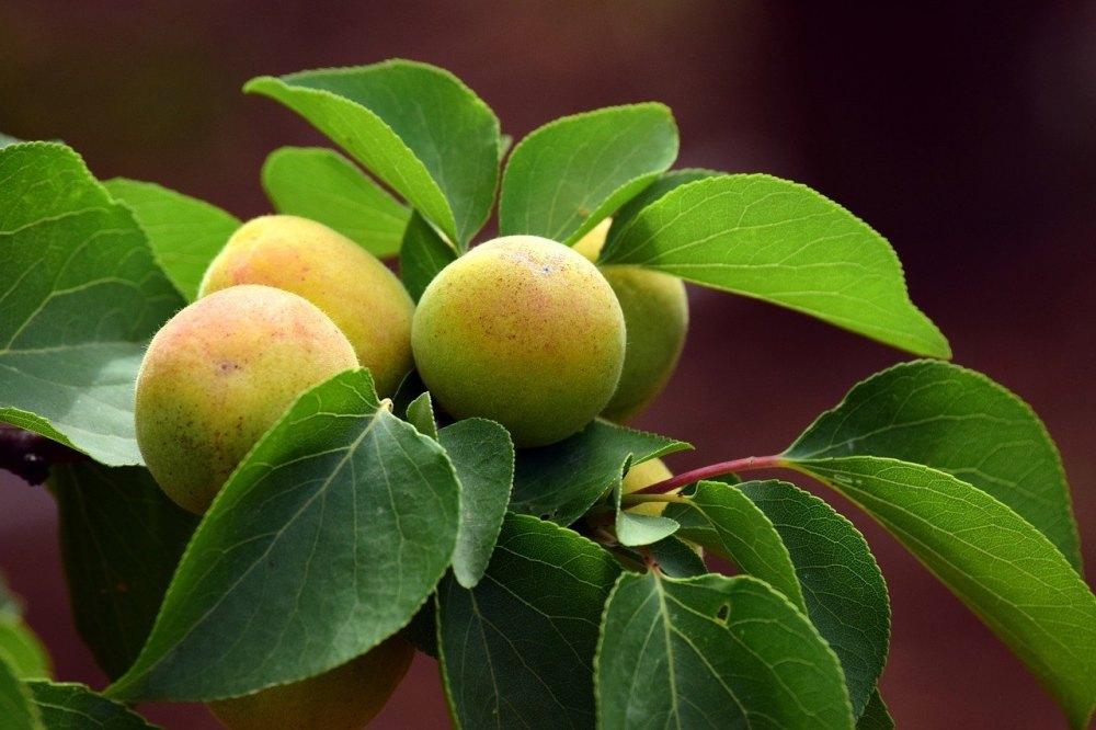 apricot-3432385_1280 (1)