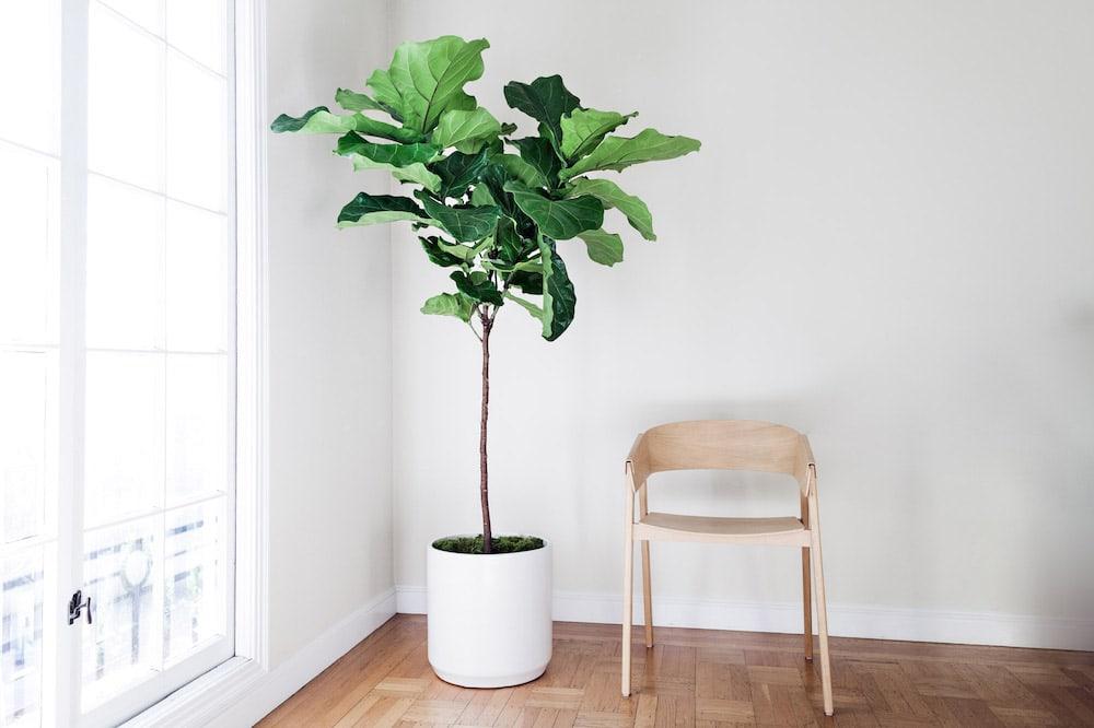 Fig Tree - Ficus Lyrata