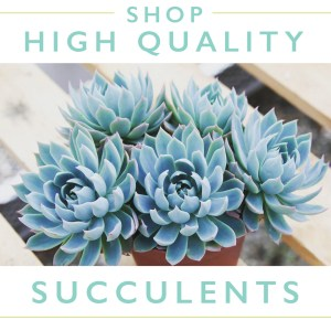 High Quality Succulent Online