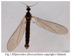 Photo of wetland cranefly