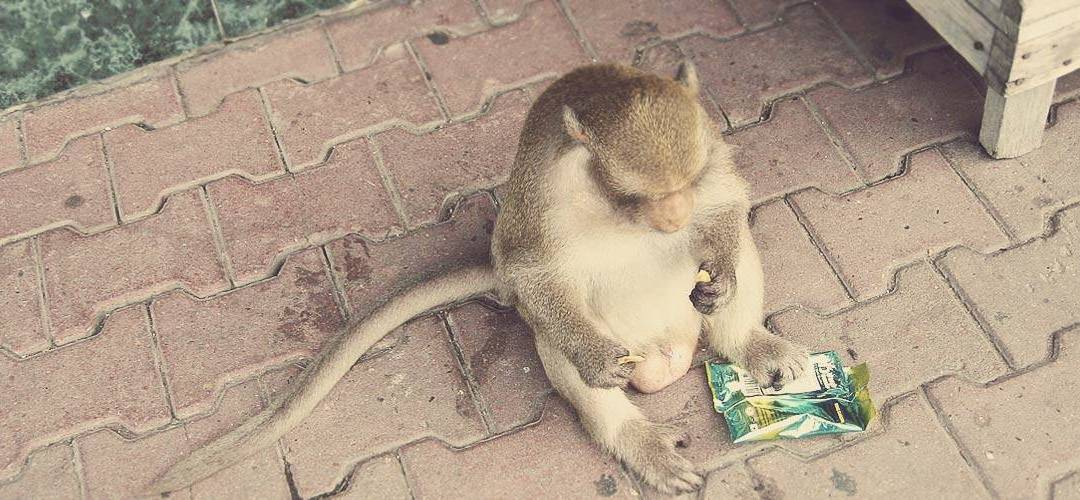 I yelled at the Thai Monkeys, but they did not speak Italian