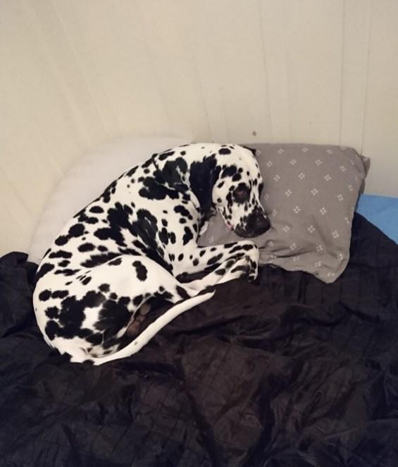 Felix (Price-Spot's Heartbreaker) i en komfortabel stilling Foto: Stine Nordseth Jacobsen.