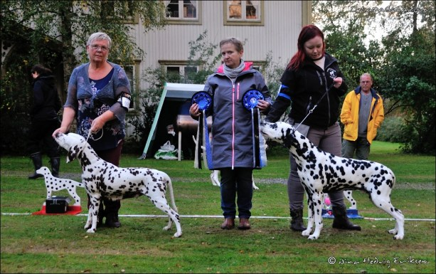 Dalmatian Delights BIS and BOS veteran Ch. Toot's Bobadilla Light and Toot's Can't Get You Out Of My Head