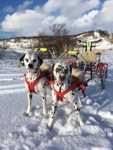 Runningspot's Absolute Fate ( Molly) og Vinatta's Blitsabeth på tur med vogn (Blitz) (Foto: Monica Iveland)