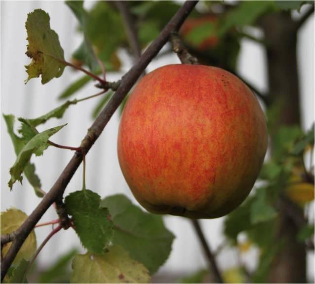 Mad med æbler