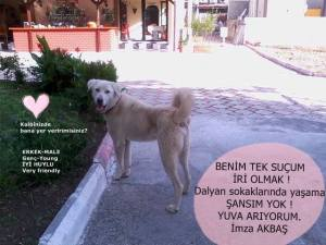 This is AKBAŞ, he is a large dog and they do not want him on the streets.