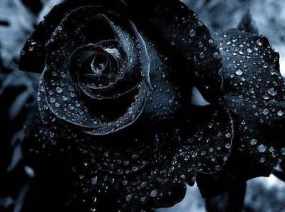black rose with dew