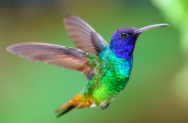 6 datos fantásticos sobre los colibríes, las aves multicolor de América    National Geographic en Español