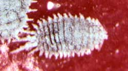 藤壶鳞虫/介壳虫——从零单种(30)