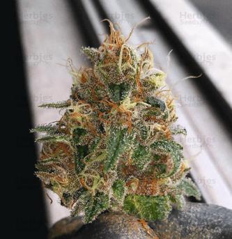 购买大麻种子——从零单种(7)