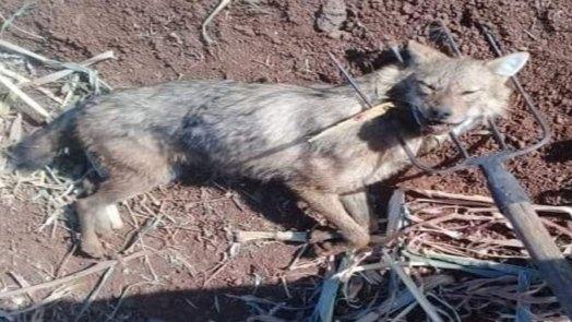 بعد عائلة الضمير.. ذئب مفترس يُهاجم مزارعين في كناكر بريف دمشق
