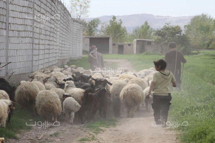 صعوبات تُهدّد الثروة الحيوانية في الغوطة الشرقية