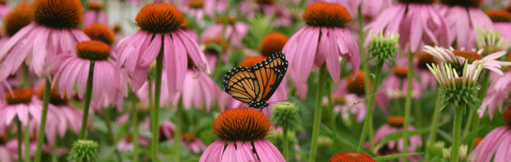 Damblys-butterfly-banner_1024x1024