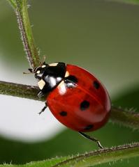 Ladybug in a twig 02