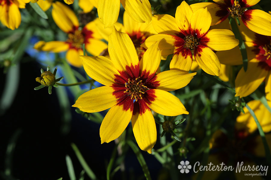 'Curry Up' Coreopsis