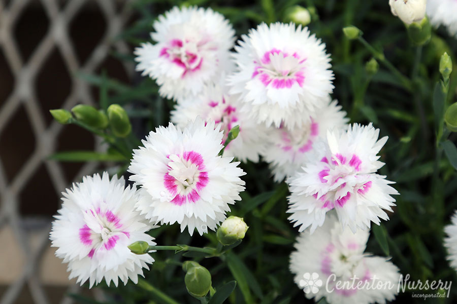 Everlast White + Eye Dianthus