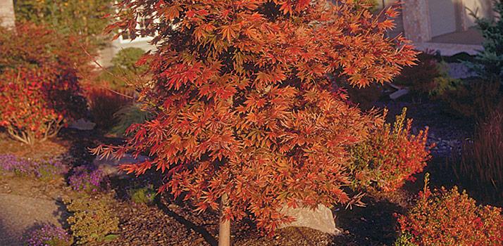 Maple-OshioBeni_350
