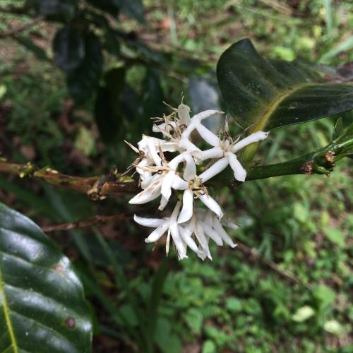 Coffee Farming: Ignorance Can Be Bliss