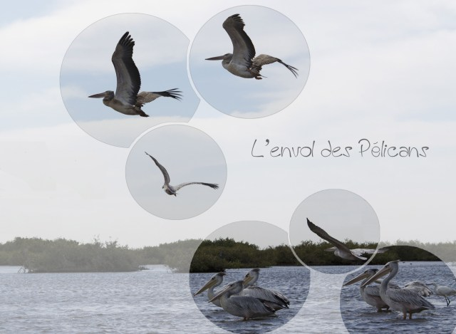 envol-de-pelicans