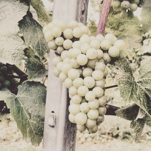 English Sparkling Wine Bunch