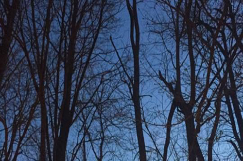 trees at dusk in front of blue sky