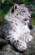 snow-leopard-03