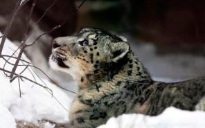 snow-leopard-09