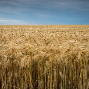 Landscape photography of Golden Barley Field