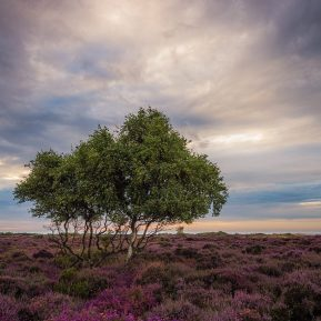 Heather Dunwich Heath, Suffolk Landscape Photography