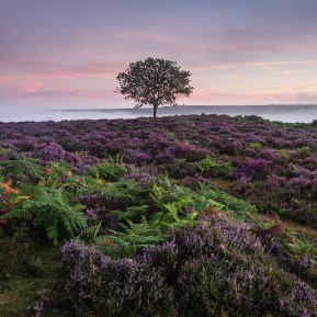 Heather New Forest, Hampshire. Landscape Photography