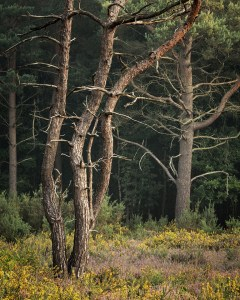 Landscape Photography trees on Stoke Common.