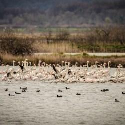 Ulcinjska solana: Flamingosi su danas tu, sjutra - ko zna...