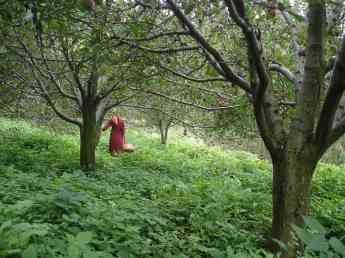 Apple picking in Naggar