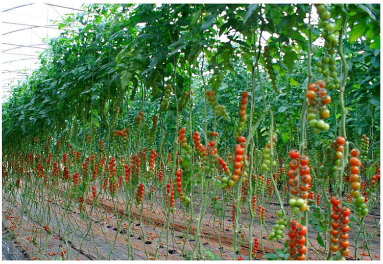 Отглеждане на чери домати у дома 2