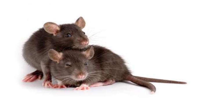 cara membasmi tikus