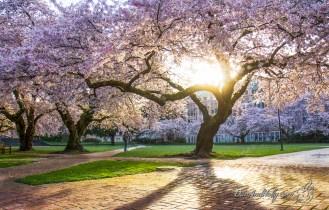 POTW: University of Washington Cherry Blossoms
