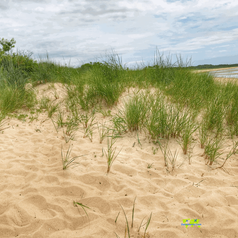 Grass in sand at Cape Henlopen State Park