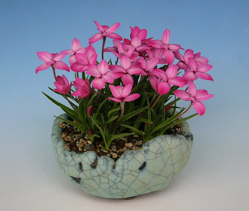 Rhodohypoxis Fred Broome