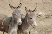 Mizan donkeys